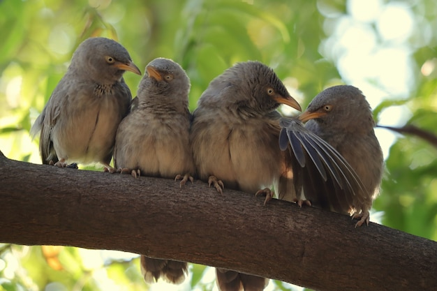 Selective focus shot of jungle babblers perched on a tree during daylight