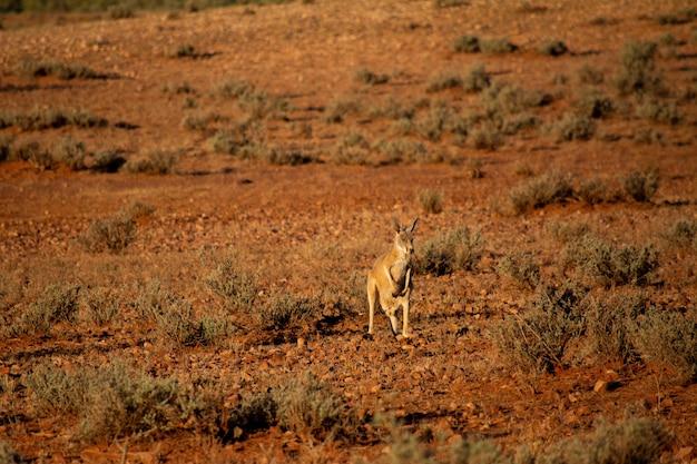 Messa a fuoco selettiva di un canguro in piedi in lontananza vicino a cespugli asciutti
