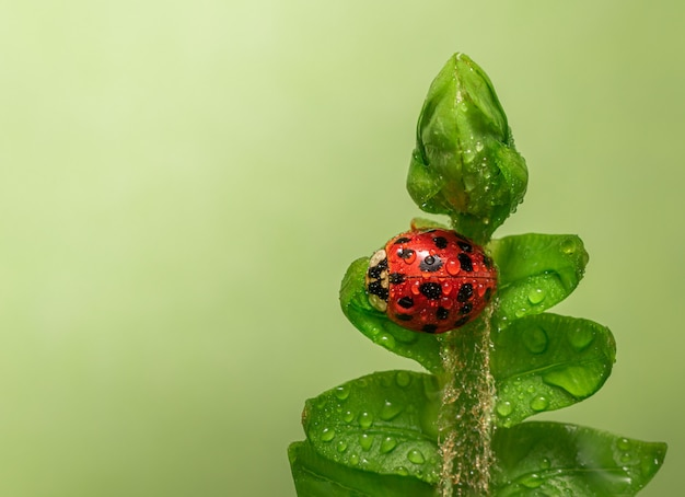 Selective focus shot of a ladybug perched on a flower leaf with water drops