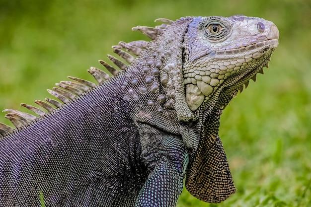 Selective focus shot of a large iguana