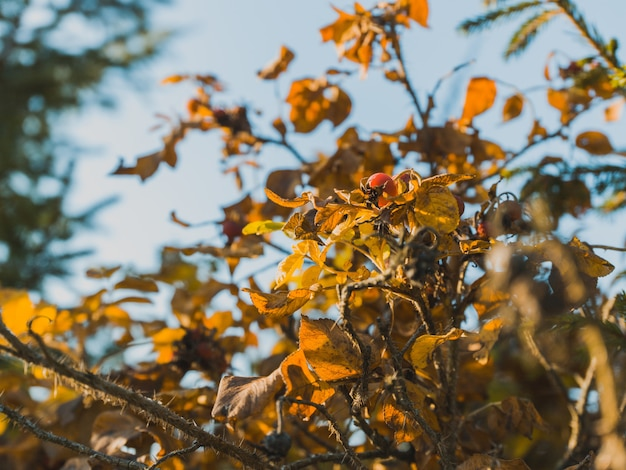 Selective focus shot of the leaves of a rosehip tree and a single berry on it