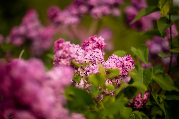 Selective focus shot of lilac flowers blooming in a field