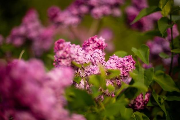 Messa a fuoco selettiva colpo di fiori lilla che sbocciano in un campo