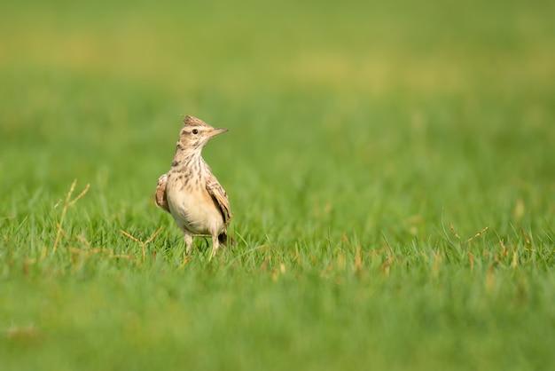 Selective focus shot of little crested lark