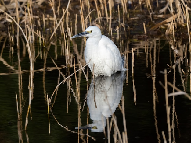 Selective focus shot of little egret on the lake with reflection on the water in izumi forest