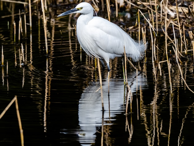 Selective focus shot of little egret with a beautiful reflection on the water in izumi forest