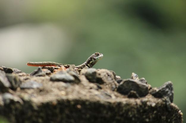 Selective focus shot of a lizard on a rock