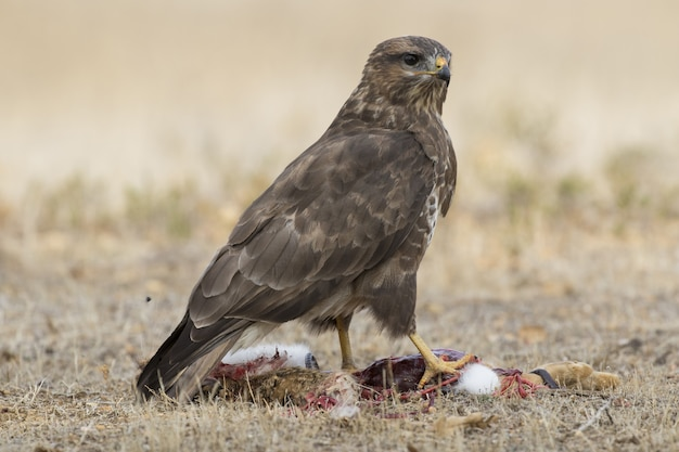 Selective focus shot of a magnificent falcon standing powerfully over its prey