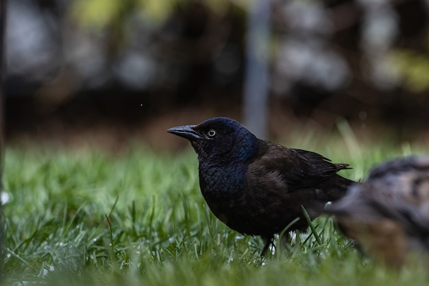 Colpo di messa a fuoco selettiva di un magnifico corvo su un campo coperto d'erba