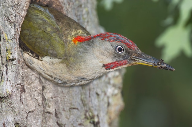 Selective focus shot of a male woodpecker getting out of its nest