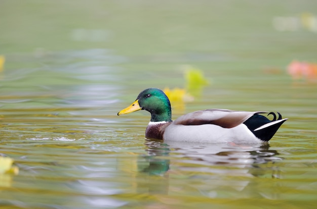 Selective focus shot of a mallard duck in the water