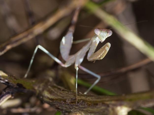 Selective focus shot of a mediterranean mantis