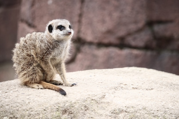 Selective focus shot of a meerkat on a rock while looking around