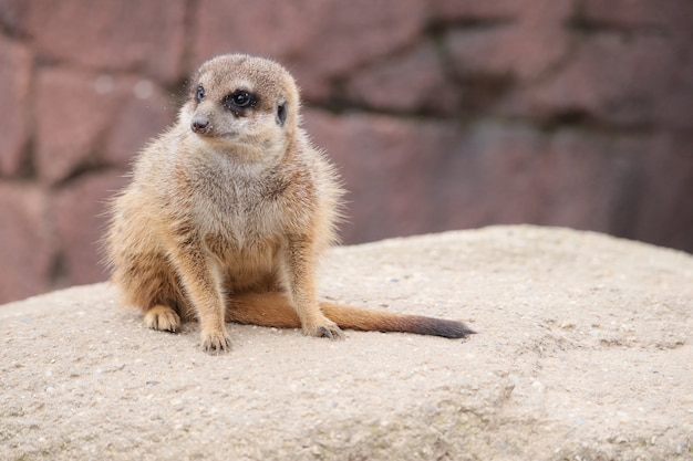 Selective focus shot of a meerkat on a rock