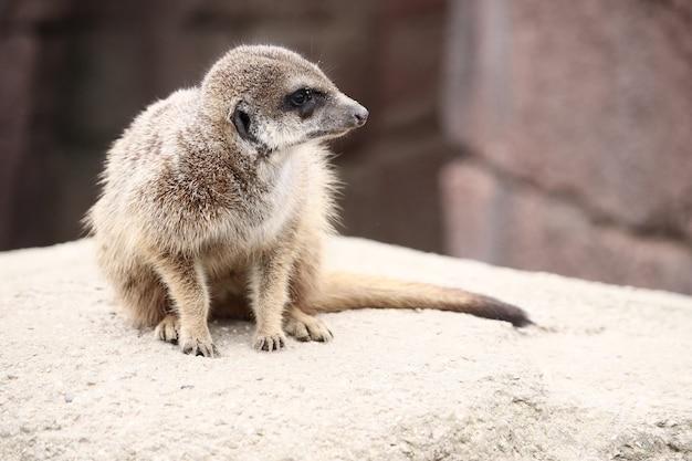 Colpo di fuoco selettivo di un meerkat su una roccia