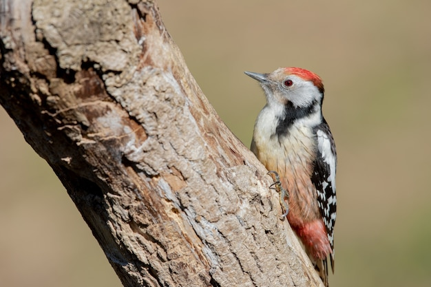 Selective focus shot of a middle spotted woodpecker on a tree
