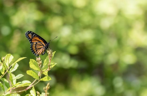 Colpo di messa a fuoco selettiva di una farfalla monarca su una pianta verde