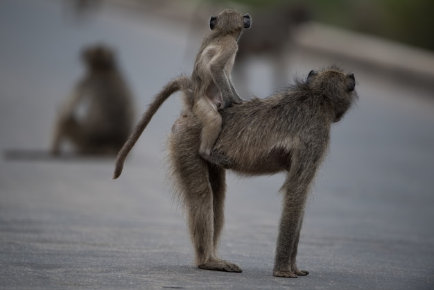 Selective focus shot of a mother baboon with her baby riding on her back