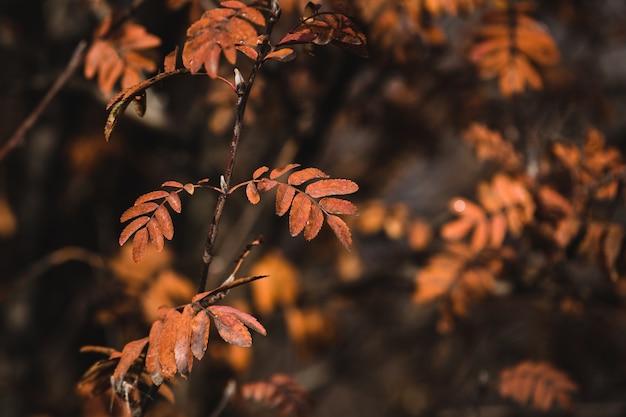 Colpo di messa a fuoco selettiva di foglie di cenere di montagna