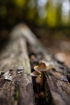Selective focus shot of a mycena sp. mushroom growing on dead wood in a chestnut forest