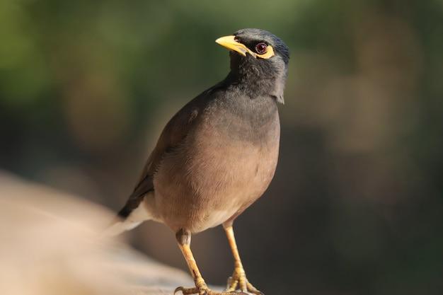 Selective focus shot of a myna bird perched outdoors
