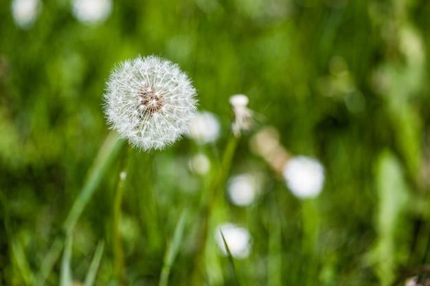 庭の緑の植物の中の美しいタンポポの選択的なフォーカスショット