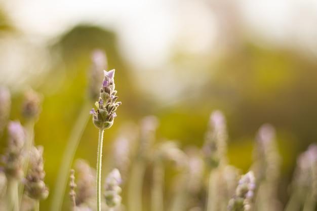 フィールドの真ん中で美しいラベンダーの花の選択的なフォーカスショット