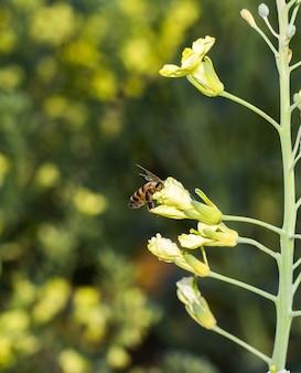 미국 yellowrocket 꽃에 꿀벌의 선택적 초점 샷