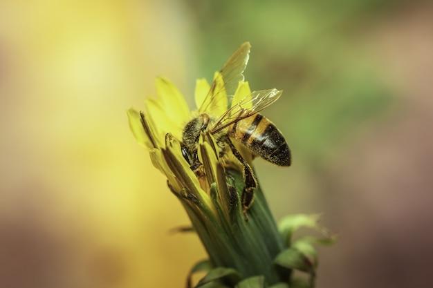 꽃이 피지 않은 노란 민들레에 꿀벌의 선택적 초점 샷