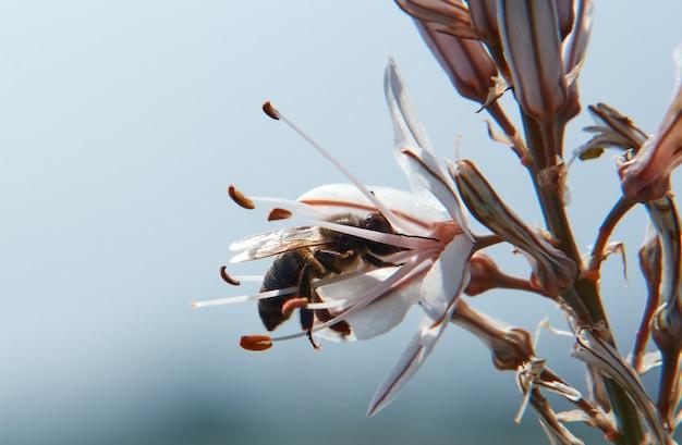 흐린 배경에 대해 아스포델루스 꽃의 꿀을 홀짝이는 꿀벌의 선택적 초점