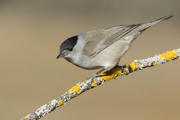 Снимок селективной фокусировки черноголовой птицы на тонкой ветке дерева