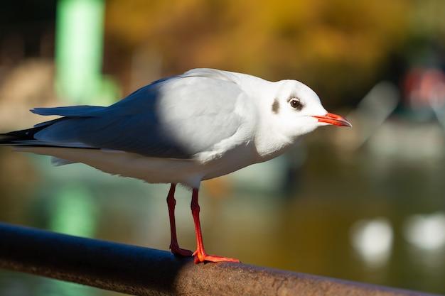 Снимок селективной фокусировки черноголовой чайки, сидящей на металлическом шесте