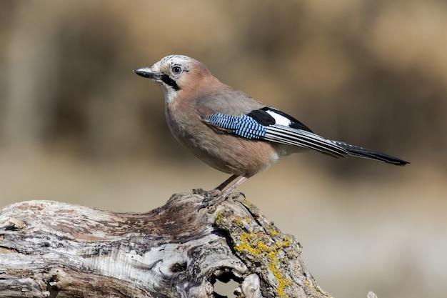 Селективный фокус: голубая сойка, сидящая на толстой ветке дерева