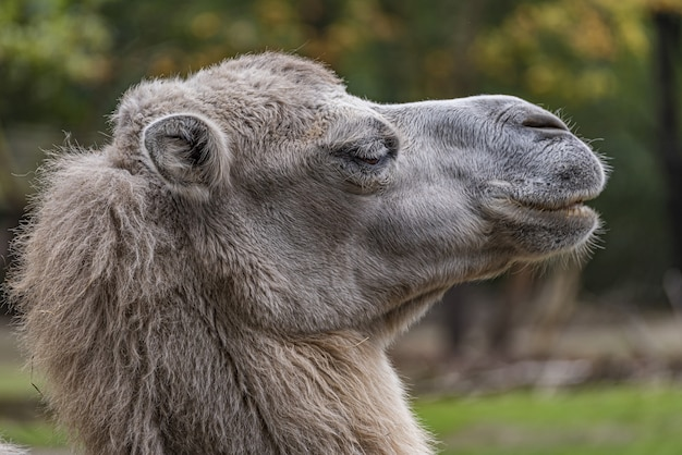 독일의 branitz 공원에서 낙타의 선택적 초점 샷