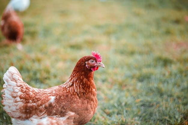 Селективный фокус кадра из курицы на траве на ферме