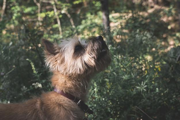 庭の真ん中で一日を楽しんでいるかわいいオーストラリアンテリア犬のセレクティブフォーカスショット