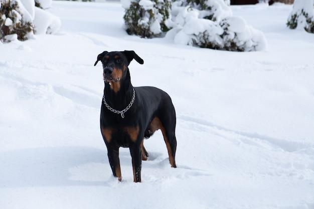 겨울 원더 랜드에서 방황하는 귀여운 검은 도베르만의 선택적 초점 샷