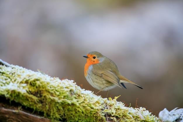 이끼 낀 지점에 앉아 귀여운 유럽 로빈 새의 선택적 초점 샷