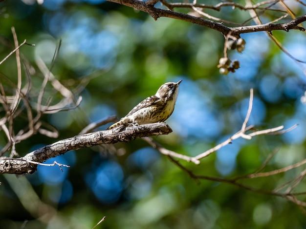 Селективный снимок симпатичного японского карликового дятла, сидящего на дереве