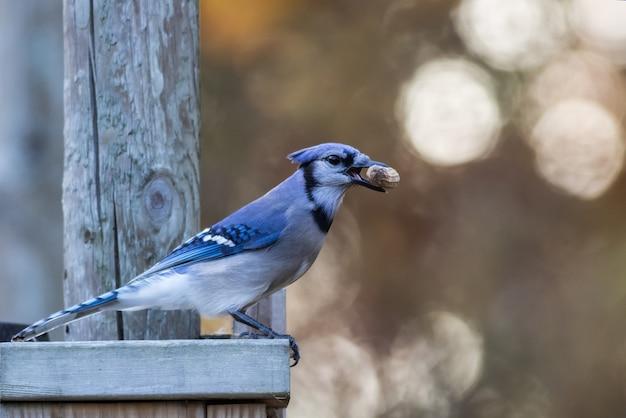枝にとまったくちばしに食べ物を持つかわいいジェイのセレクティブ フォーカス ショット
