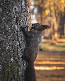 Снимок с выборочной фокусировкой, на которой милая белочка с кисточками и ушками лазает по дереву