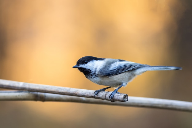 Селективный снимок милой синицы, сидящей на ветке