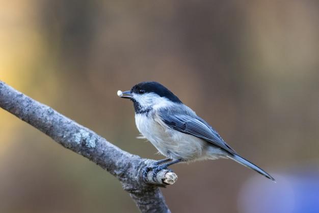 Селективный снимок милой синицы с едой в клюве, сидящей на ветке