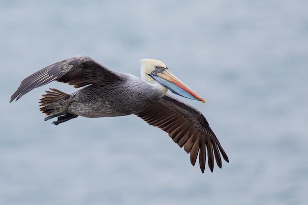 飛んでいるペリカンのセレクティブフォーカスショット