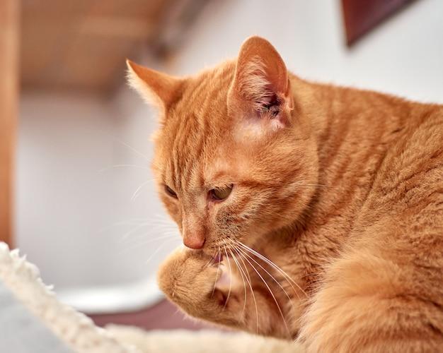 生姜猫が前足を舌で舐めているセレクティブフォーカスショット