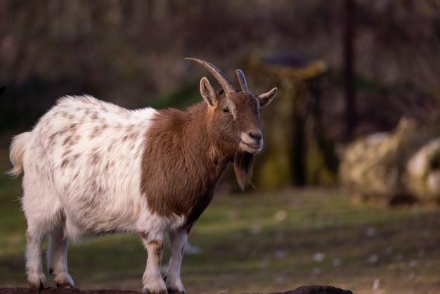 森の中のヤギの選択的なフォーカスショット