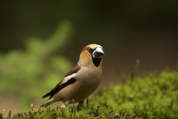 낮 동안 hawfinch 새의 선택적 초점 샷