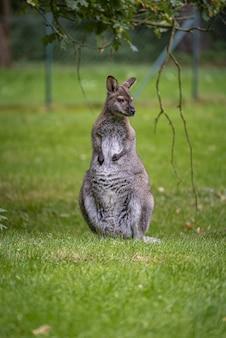 Селективный снимок кнагуру в парке браниц в германии
