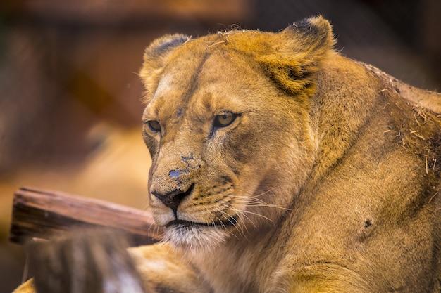 ケニアのナイロビで捕獲された動物孤児院の壮大な雌ライオンの選択的フォーカスショット
