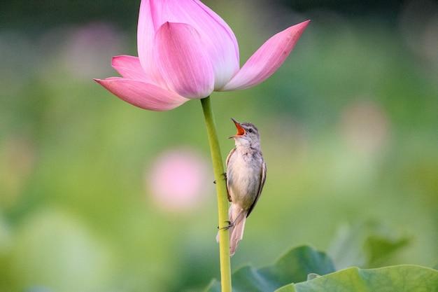 ピンクの花に腰掛けたシマムシクイの選択的なフォーカスショット